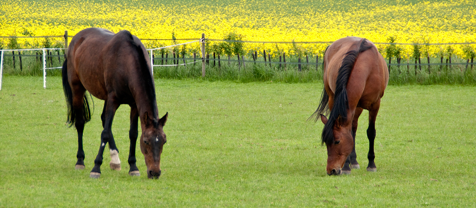 horses-in-fielcropped