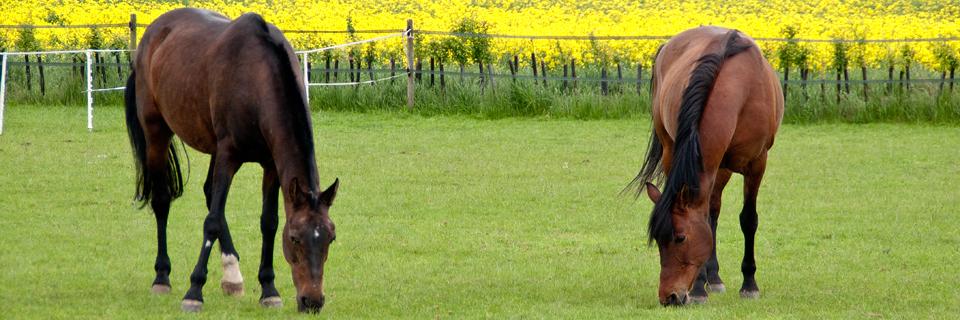 horses-in-field-320
